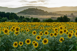 Sunflowers near Blagoevgrad, photo by AUBG professor Jeffrey Nilson